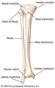 tibia_fibula_diagram1329270040731