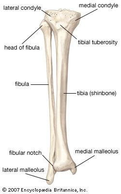 words and anatomy matter md direct Iliac Crest tibia_fibula_diagram1329270040731