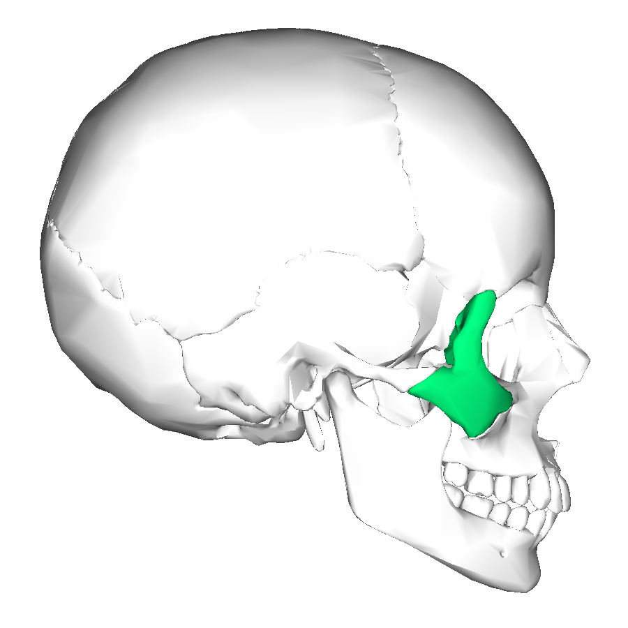 zygomatic bone archives - md direct, Human Body